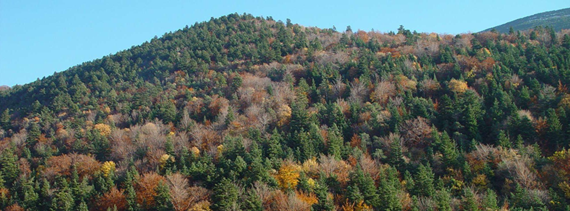 Forêt mixte exposée au changement climatique. Mont Ventoux.