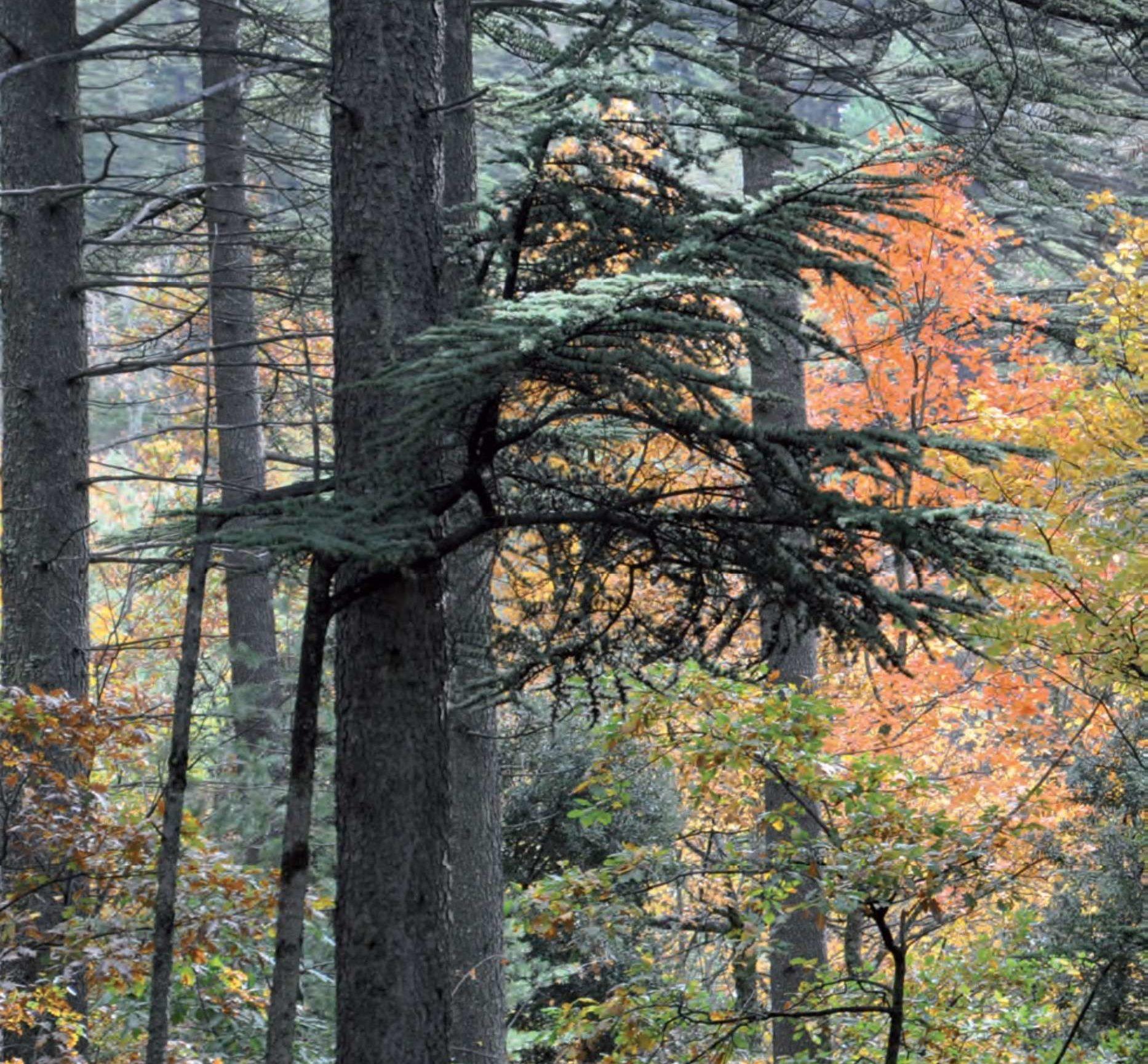 Cèdre et pins au Mont Ventoux