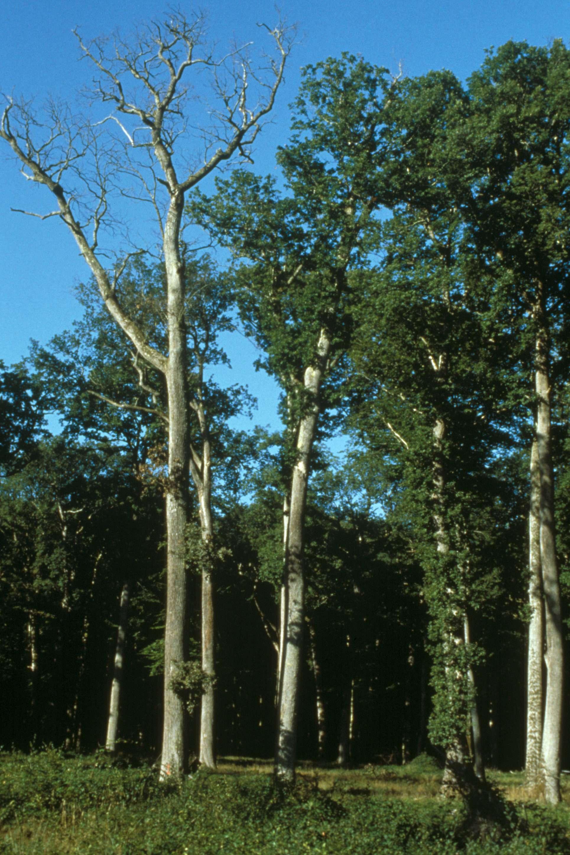 Effet du changement climatique : chêne pédonculé sec, chêne sessile vivant