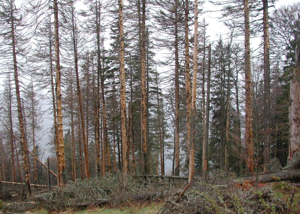 Santé des forêts : impact de scolytes