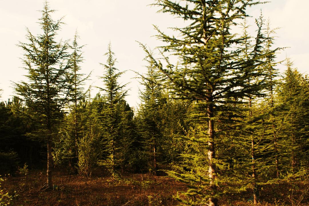 Enjeu forestier : choix des essences. Peuplement de cèdre de l'Atlas