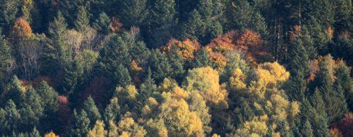 Forêt de montagne à l'automne, sapin et hêtre